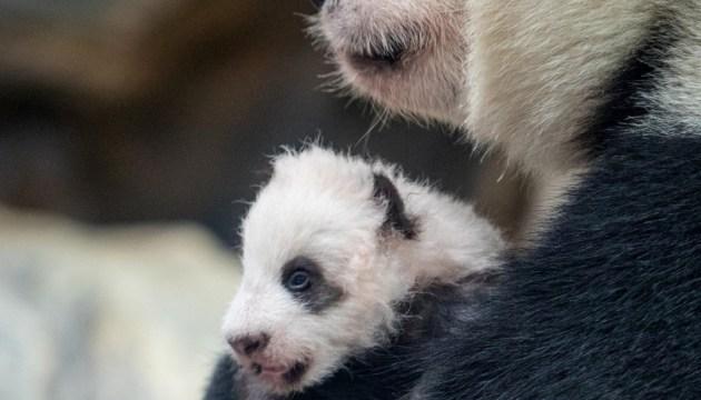 Туристам у Китаї заборонили фотографуватися з пандами