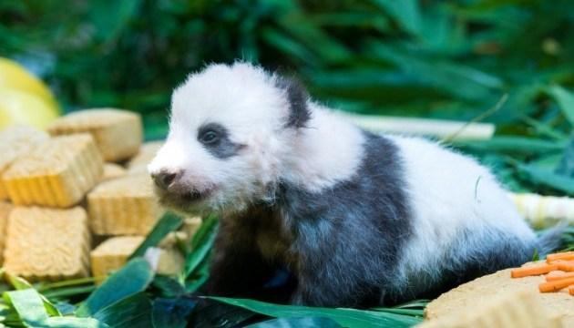 В китайском сафари-парке показали детеныша гигантской панды