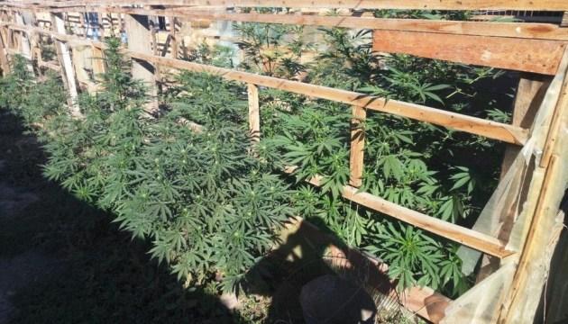Наркодельцы с бойцовскими собаками обрабатывали плантацию марихуаны