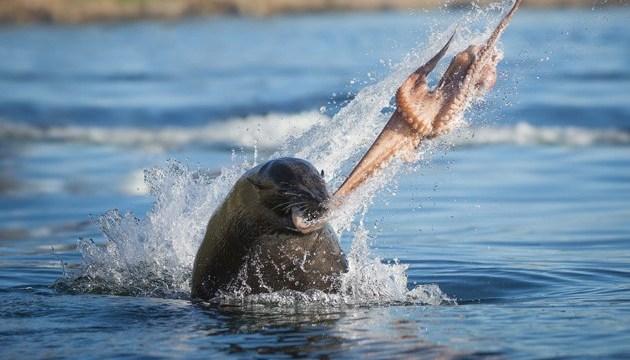 Тюлень бросил осьминога в лицо каякеру