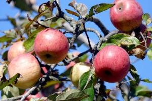 В Україні знижуються ціни на яблука