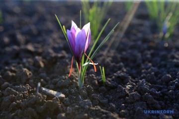 """外喀尔巴阡""""冬季""""藏红花盛开"""