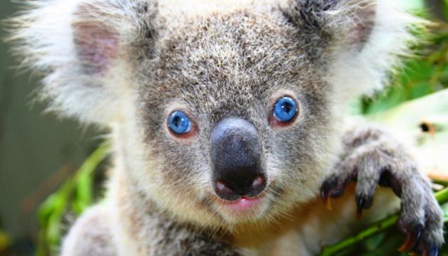 Австралія направить у Британію коал-