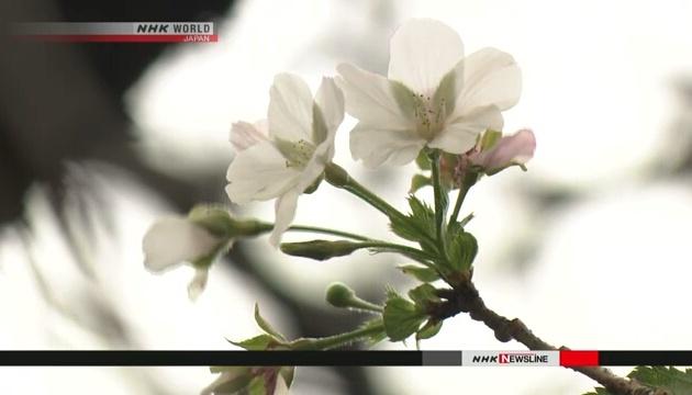 Осінні сакури: Японія насолоджується неочікуваним ханамі