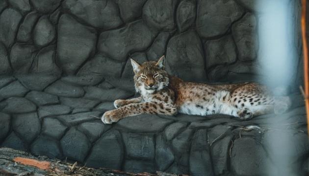 Un musée des chats sauvages créé dans un parc naturel de la région de Tchernyhiv