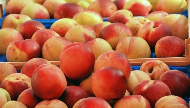 На Закарпатье фермеры придумали уникальный способ вывоза персиков из горного сада