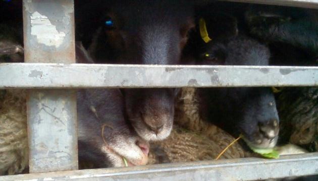 Фуру с овцами, из-за которой возник скандал, хотят вернуть в Турцию