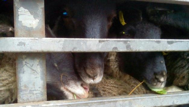 Les moutons «bloqués» à la douane d'Odessa seront abattus