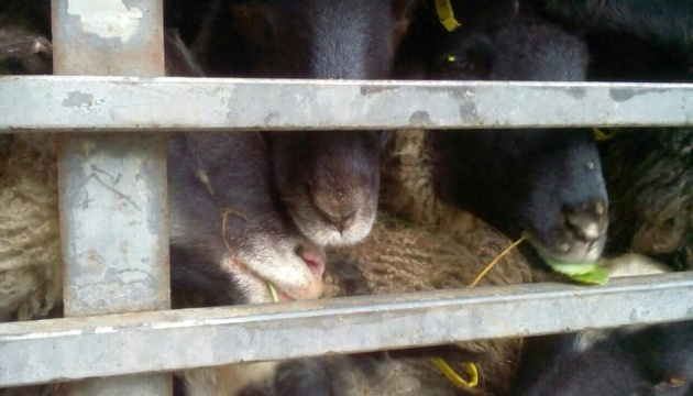 Le calvaire des 300 moutons devenus otages de la bureaucratie ukrainienne toucherait à sa fin