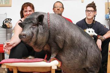 Як не підкласти свиню самому собі?