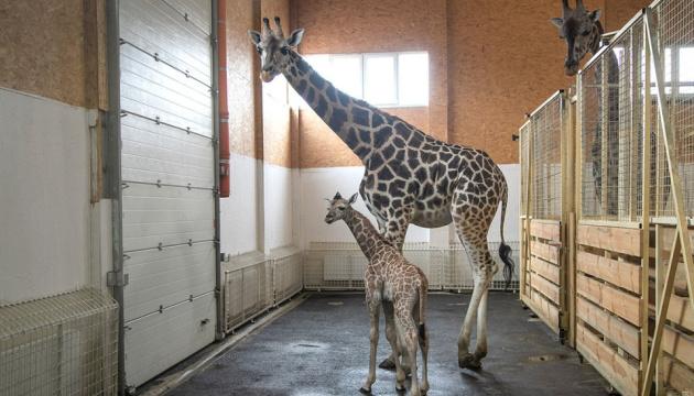 Un girafon est né dans le biopark d'Odessa (photos)