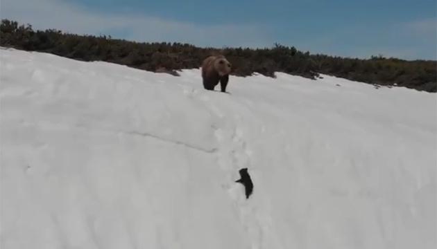 Никогда не сдавайся: видео с медвежонком-скалолазом покоряет соцсети