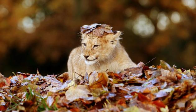 В Одессе по улицам гулял львенок