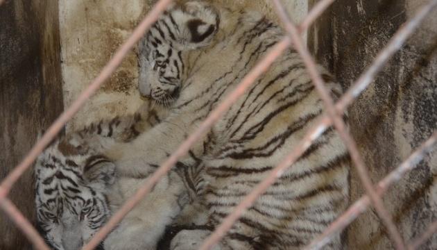 В мариупольский зоопарк привезли белых тигрят и семью гамадрилов