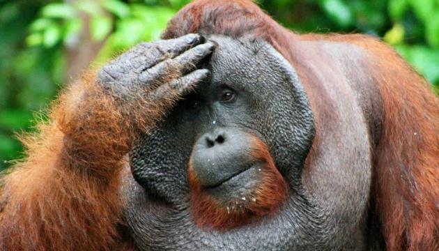 Орангутани сприймають минуле і здатні