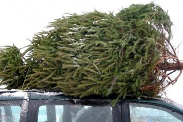 Förstereien wollen etwa 500.000 Weihnachtsbäume verkaufen