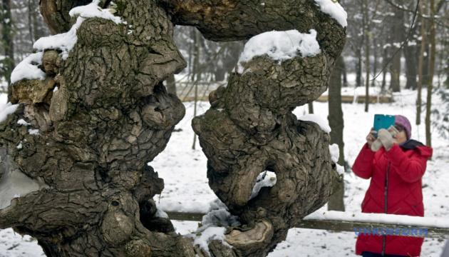 На Тернопільщині дерево-символ Пекіна приваблює туристів чудернацьким стовбуром