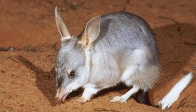 В Австралії вперше за 100 років на волю випустили сумчастих борсуків