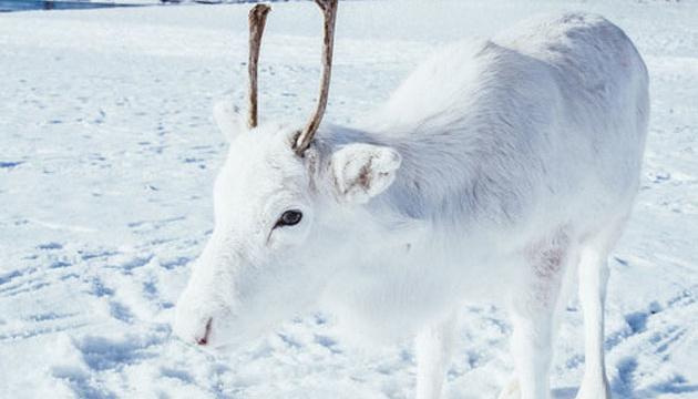 У Норвегії сфотографували рідкісну тварину