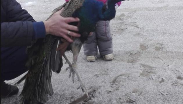 Під Києвом врятували замерзаючого на дереві павича