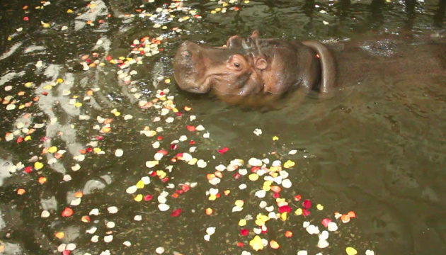 哈尔科夫动物园的河马斯捷潘尼达享受玫瑰浴
