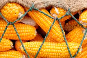 Украина стала единственным экспортером кукурузы в Египет