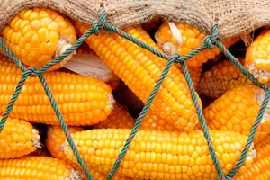 Україна стала єдиним експортером кукурудзи до Єгипту