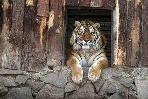 """Кличко показал, как хищникам в зоопарке устраивают """"охоту на добычу"""""""