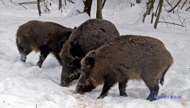 Карпатський нацпарк кличе туристів задобрити Свиню
