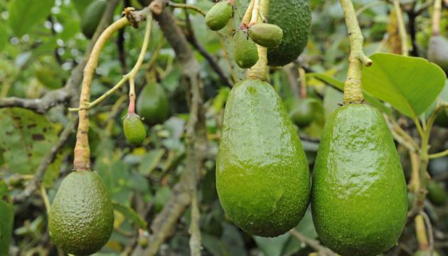 Импорт авокадо в Украину в прошлом году вырос вдвое - эксперты