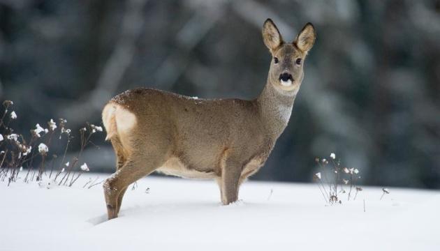 На Житомирщине охота на косулю обошлась браконьерам в 32 тысячи