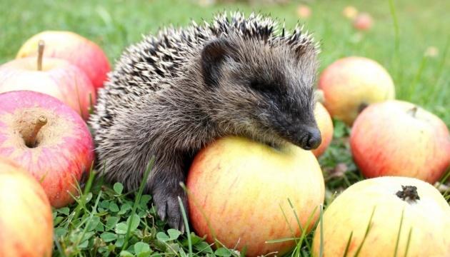 Ukrainian apple exports grew sharply in November