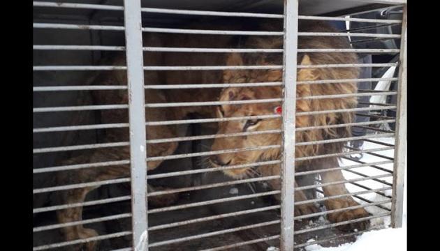 На Запоріжжі помер виснажений лев із приватного зоопарку