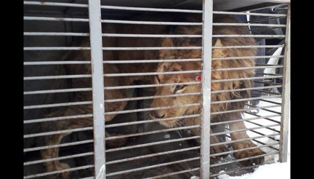 Un lion épuisé d'un zoo privé est mort à Zaporijjia