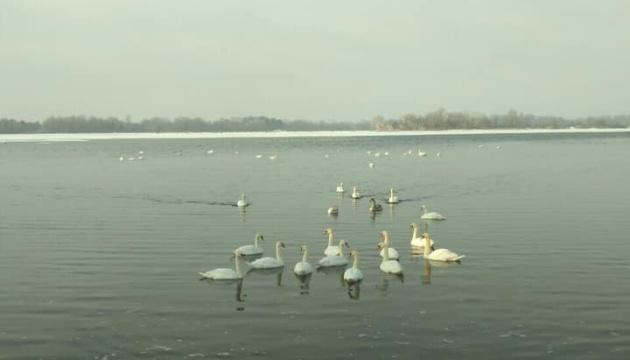 На Бортническую станцию аэрации прилетели лебеди