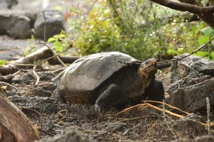 На Галапагосах нашли черепаху, которую считали вымершей более 100 лет