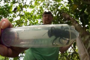 Пчелу-гиганта, которую не видели 38 лет, нашли в Индонезии
