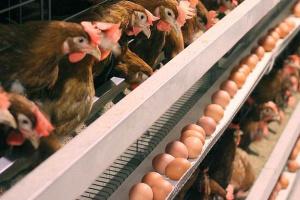 Производство яиц в Украине уменьшилось на 3% - Госстат