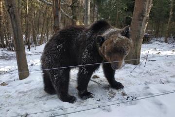 Le printemps arrive: des ours se sont réveillés dans le parc national Halitsky