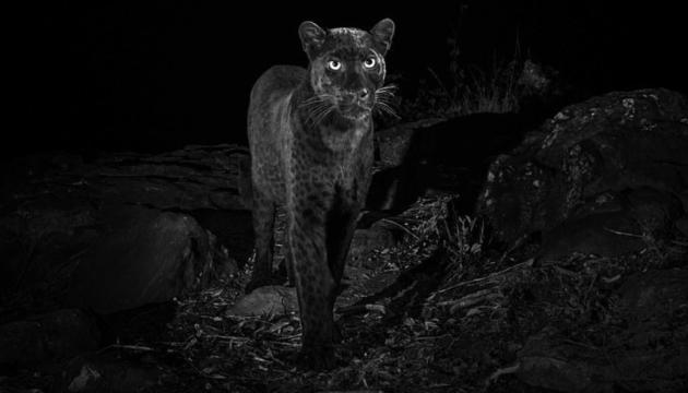 В Африці вперше за 100 років сфотографували чорного леопарда