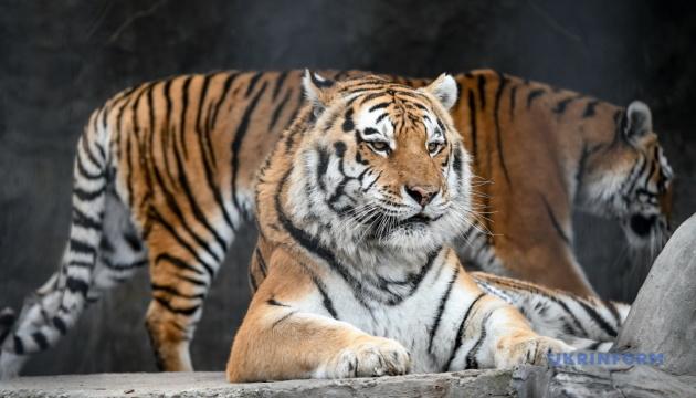 У Миколаївському зоопарку святкують 15-річчя двох амурських тигриць