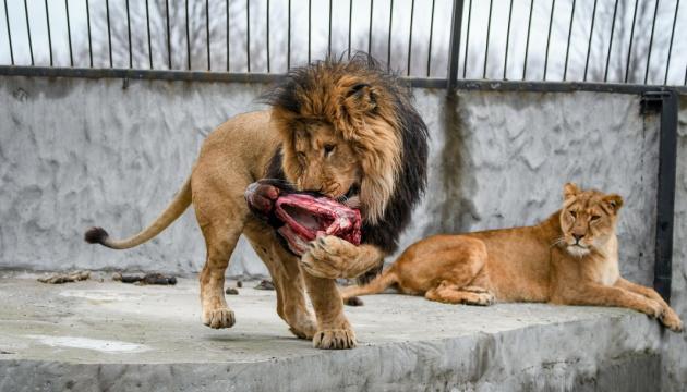 La maison de convalescence pour les lions blessés
