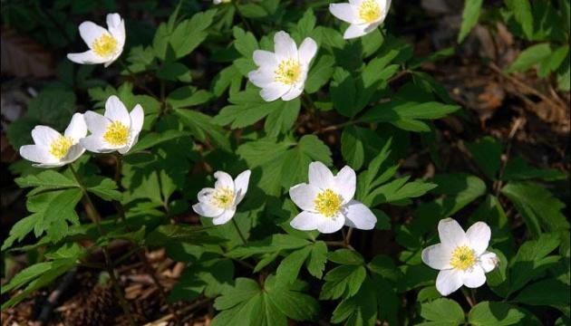 Прикарпаття зустрічає весну первоцвітами