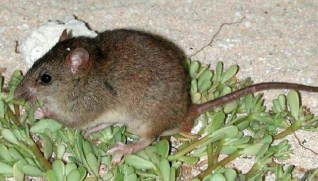 Первыми жертвами глобального потепления стали мозаичнохвостые крысы