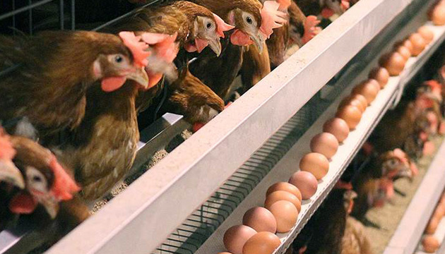 Saudi Arabia inspects Ukrainian chicken producers