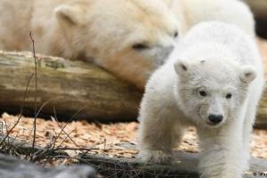 В берлинском зоопарке — аншлаг из-за белого медвежонка