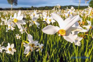 Усім цвітом цвіте Закарпаття моє!