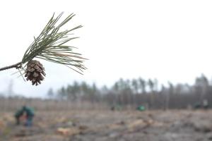 На Київщині до Міжнародного дня лісів висадили сосни та дуби