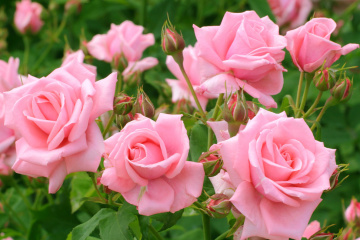 Ukraine increases imports of roses by quarter