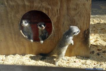 Trois suricates sont nés au zoo de Vinnytsia (photos)